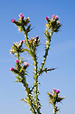 Slender Thistle {Carduus tenuiflorus} Devon, UK. June.