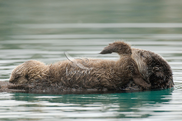 Sea Otters (Enhydra lutris)--mom cleaning pup while pup nurses.