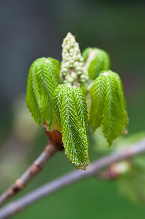 New young leaves and flower buds of red horse chestnut (Aesculus x carna 'Plantierensis), late March.