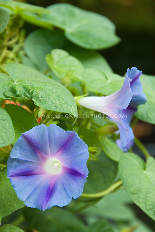 Morning Glory flowers Ipomoea showing frontal view and side view, closeup, blue stars