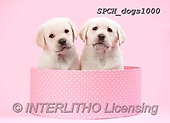 Xavier, ANIMALS, REALISTISCHE TIERE, ANIMALES REALISTICOS, dogs, photos+++++,SPCHDOGS1000,#A#, EVERYDAY