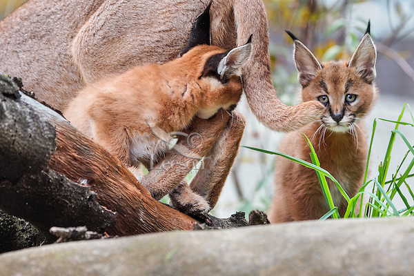 """Caracal (Caracal caracal) kittens playing with mom.  The word """"Caracal"""" comes from the Turkish word """"karakulak"""" which means """"black ear.""""  Found in Africa through Central Asia and India."""
