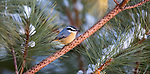 Red-breasted nuthatch perched in a pine tree.