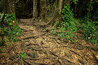 Path and tree roots at Rainbow Falls. Hawaii, The Big Island