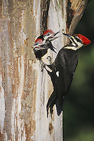 Pileated Woodpecker (Dryocopus pileatus), female feeding young in cavity, Neuse River, Raleigh, Wake County, North Carolina, USA