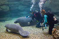 Florida Manatee, Trichechus manatus latirostris, captive. A subspecies of the West Indian Manatee. Divers attend to the hygene needs of captive manatees at the Cincinnati Zoo, Ohio. No MR