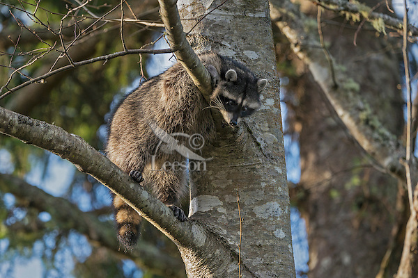 Raccoon (Procyon lotor) resting up in red alder tree.  Pacific Northwest.  Fall.