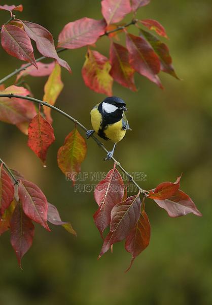 Great Tit (Parus major), adult perched on autumn branch, Oberaegeri, Switzerland, Europe