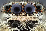 Pictured: Macro detail of the fluffly texture of a jumping spider.<br /> <br /> A set of close ups show the fascinating human traits of insects.   The shots show what appear to be the grin of a cheeky hornet, a red palm weevil warming up for a boxing match and a fluffy spider, amongst others.<br /> <br /> Science photographer Marco Jongsma photographing insects in an attempt to combat his fear of the bugs by showing their features in detail unattainable to the naked eye.   Mr Jongsma took the photos in the garden and nature park of his home fishing village of Lemmer, in the Netherlands, and says his aversion to creepy-crawlies began when he reacted badly to a wasp sting as a young man.   SEE OUR COPY FOR DETAILS<br /> <br /> Please byline: Marco Jongsma/Solent News<br /> <br /> © Marco Jongsma/Solent News & Photo Agency<br /> UK +44 (0) 2380 458800