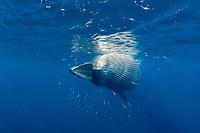 Bryde's whale, Balaenoptera edeni, feeding on a baitball of sardines, pilchards, or Californian pilchards, Sardinops sagax caeruleus, Golden Gate Bank, Cabo San Lucas, Baja California, Mexico, Pacific Ocean (4 of 9)