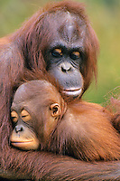 Orangutans (Pongo pygmaeus)--mother with young.