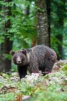 Eurasian brown bear (Ursus arctos arctos) in the forest of Notranjska or Inner Carniola, Slovenia, Europe