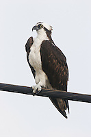 Osprey on telephone cable