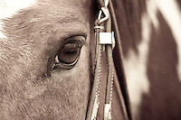 Close-up of a Paint horse
