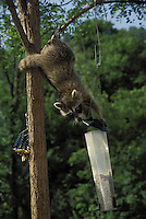 Raccoon wins another round in the war of the birdfeeders, midwest USA