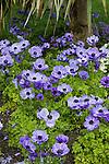 ANEMONE CORONARIA 'HARMONY BLUE', POPPY-FLOWERED ANEMONE