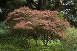 LEPTOSPERMUM SCOPARIUM, NEW ZEALAND TEA TREE