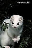 MA28-051z  Short-Tailed Weasel - ermine in winter - Mustela erminea