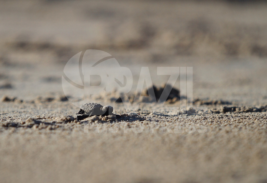 IPOJUCA-PE, 23.03.2018 -TARTARUGAS-PENTE - Vistas das Tartarugas Pente que acabaram de nascer e estão caminhando em direção ao mar na praia de Porto de Galinhas em Ipojuca, Pernambuco nesta sexta-feira, 23.(Foto: Jean Nunes/Brazil Photo Press)
