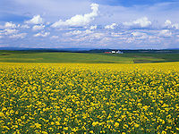 Art in Nature 9407-0666 - agricultural landscape of a field of Canola in yellow bloom, stretching into the horizon under a bright, cloudy blue sky. Idaho.