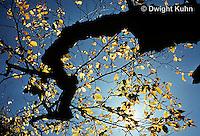 SU06-019z  Tree backlit with morning sun