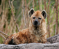 0213-08mm  Spotted Hyena, Laughing Hyena, Crocuta crocuta © David Kuhn/Dwight Kuhn Photography