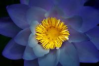 Blue Gigantea Waterlily(Nymphaea gigantea). Hughes Water Gardens. Oregon