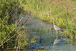 Damon, Texas; a great blue heron reflects in the surface of the slough in late afternoon sunlight