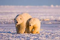 polar bear, Ursus maritimus, mother with cub on the pack ice, 1002 coastal plain of the Arctic National Wildlife Refuge, Alaska, USA