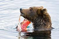 Adult brown bear (Ursus arctos middendorffi) foraging for dying sockeye salmon at the Brooks River in Katmai National Park near Bristol Bay, Alaska, USA. Pacific Ocean