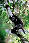 Adult Indri (Indri indri) from forests near Zahamena National Park, eastern Madagascar.