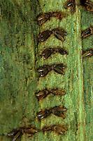 Gemeine Weidenjungfer, Eier in Zweig eingestochen, Ei, Eiablage, Chalcolestes viridis, Lestes viridis, Willow Emerald Damselfly, eggs, oviposition, egg deposition, Binsenjungfer