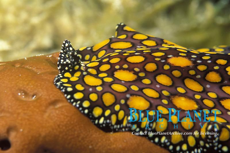 leopard flatworm, Pseudoceros pardalis, Exumas, Bahamas