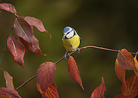 Blue Tit (Parus caeruleus), adult perched on autumn leaves, Oberaegeri, Switzerland, Europe