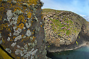 Lichens encrusting exposed basalt cliff face including Sea Ivory (Ramalina siliquosa) Isle of Staffa, Scotland, UK. June.