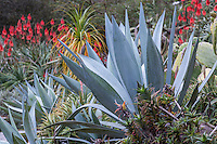 Agave americana, Century Plant; gray  silver leaf succulent in San Francisco Botanical Garden