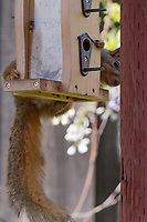 A fox squirrel, helping itself to the bounty of a backyard birdfeeder, suddenly realizes it's been caught in the act.