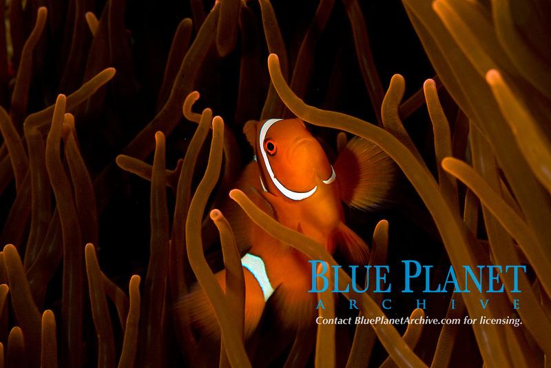 male spinecheek anemonefish, premnas biaculeatus