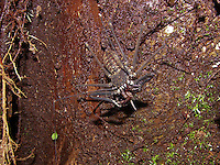 A área está localizada no sudoeste do Pará, na Floresta Nacional (Flona) do Amana, nos municípios de Itaituba e Jacareacanga. É margeada pela rodovia Transamazônica e situa-se na região de influência da BR-163 (rodovia Cuiabá-Santarém), onde um conjunto de ações busca estimular a produção madeireira sustentável.<br /> <br /> Aracnídeos; aranhas; Amazônia; meio ambiente; sustentabilidade; pechonento; rio Purus; veneno; caranguejeira; Amblipigeo; aranha chicote; Charinidae; Phrynidae e Phrynichidae<br /> <br /> Pará, Brasil<br /> Foto João Batista<br /> 2008