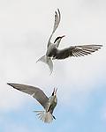 Common terns battle in mid air by Steve Liptrot