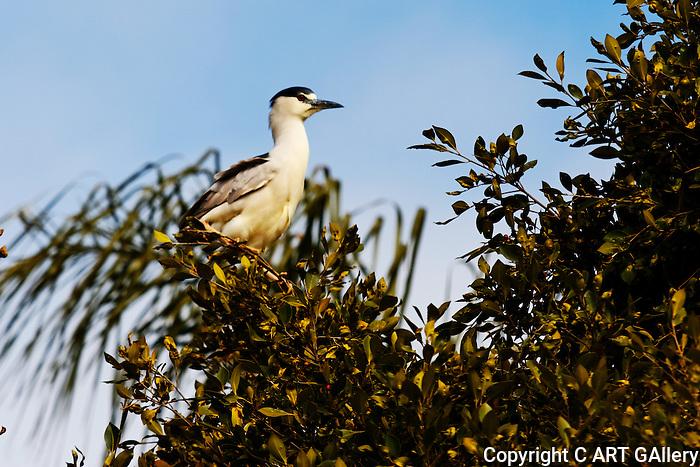 Black-Crowned Night-Heron in a tree, Upper Newport Bay, CA.
