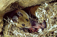 MU27-194z  White-Footed Mouse - with 3 day old young -  Peromyscus leucopus