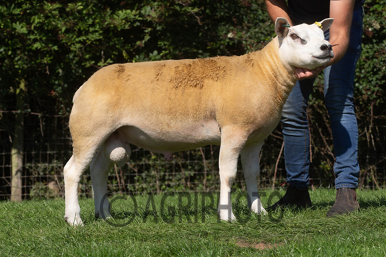 1.9.2020 Texel Sheep Society English National Sale<br /> Lot 224 Hope Valley Dazzler owned by Robert Evans sold for 3000 gns<br /> ©Tim Scrivener Photographer 07850 303986<br />      ....Covering Agriculture In The UK.