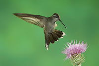 Blue-throated Hummingbird, Lampornis clemenciae, female at thistle, Paradise, Chiricahua Mountains, Arizona, USA, August 2005