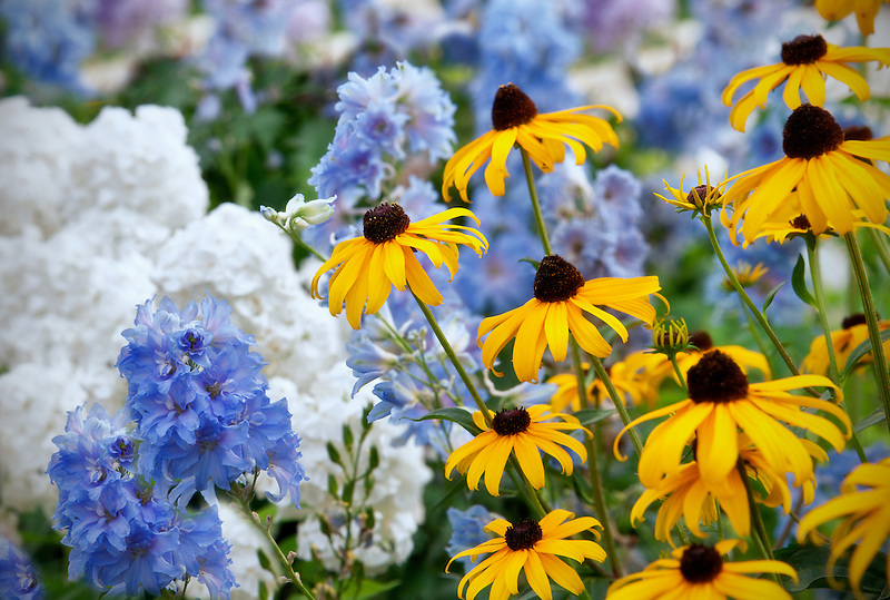 Goldstrum' Rudbeckia and blue Delphinium 'Summer Skies. Al's Garden. Woodburn, Oregon.