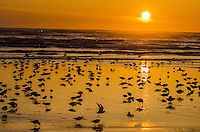 Mixed flock of shorebirds--mostly dunlins and western sandpipers--feeding along tideline on northern migration along Pacific Ocean Coast,  Washington State.  Sunset.