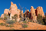 Bristlecone Pine and Hoodoos, Fairyland Trail, Fairyland Canyon, Bryce Canyon National Park, Utah
