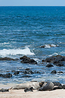 Hawaiian monk seals, Neomonachus schauinslandi, Critically Endangered endemic species; a female (R318), right, and a 5 year old male (RO36), left; on beach at west end of Molokai, USA, Pacific Ocean