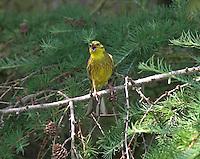 Goldammer, Männchen singend, Emberiza citrinella, Yellowhammer, Bruant jaune