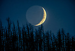New moon, Yellowstone National Park, Wyoming, USA<br /> <br /> A new moon sets behind a lodgepole pine forest that burned in the massive 1988 fire. Pinus contorta latifolia does depend upon fire to survive. While the tree's bark is thin and not fire-resistant, the cones need the heat to release the seeds.